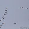 Snow Geese <br /> Bradford Farms <br /> Columbia, Mo.