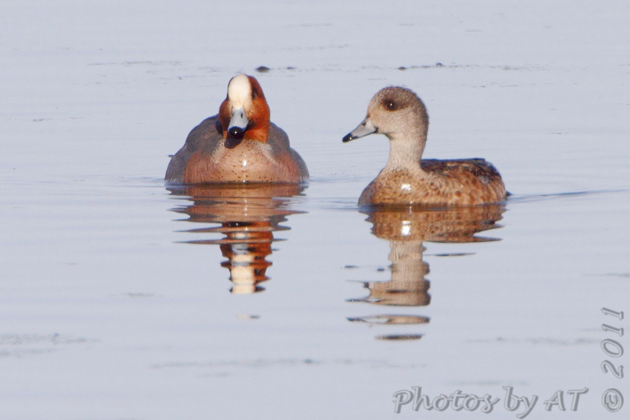 Eurasian Wigeon (male)<br /> and American Wigeon (female) <br /> Squaw Creek National Wildlife Refuge