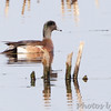 American Wigeon (male) <br /> Squaw Creek National Wildlife Refuge