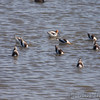 American Avocet <br /> Squaw Creek Natural Wildlife Refuge