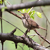 House Wren <br /> Squaw Creek National Wildlife Refuge