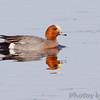 Eurasian Wigeon <br /> Squaw Creek National Wildlife Refuge