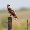 Red-tailed Hawk <br /> Taberville Prairie
