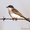 Eastern Kingbird <br /> Wah'Kon-Tah Prairie