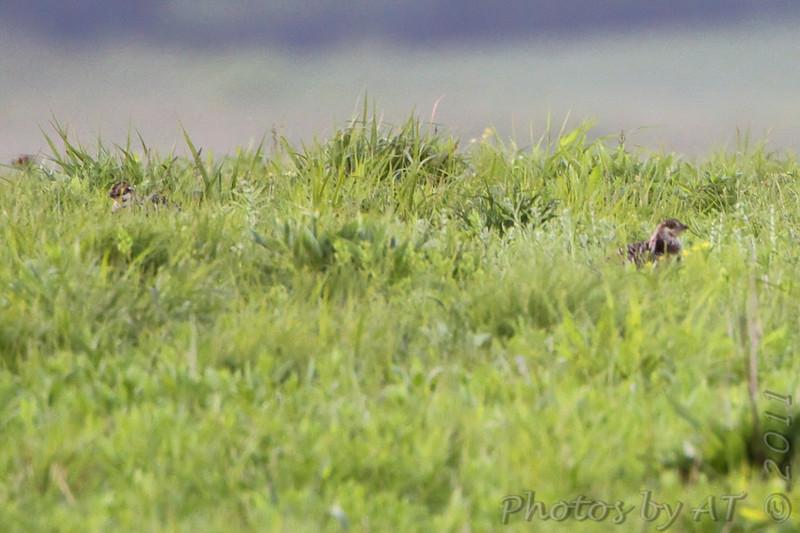 Greater Prairie Chicken <br /> Wah'Kon-Tah Prairie