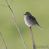 Savannah Sparrow <br /> Wah'Kon-Tah Prairie