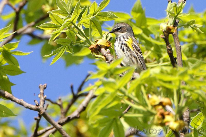 Yellow-rumped Warbler (Myrtle's) <br /> Cuba, Mo