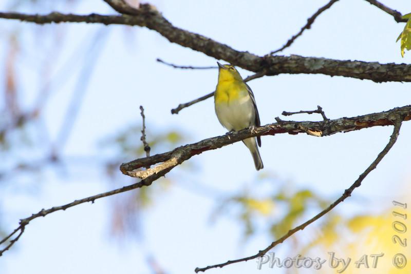 Yellow-throated Vireo <br /> Cuba, MO