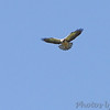 Swainson's Hawk <br /> Hwy 44 Exit 84 <br /> Springfield, Mo. <br /> 2011-05-04<br /> <br /> No. 305 on my Lifetime List of Birds <br /> Photographed in Missouri.