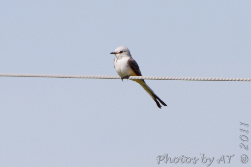 Scissor-tailed Flycatcher  <br /> Hwy 44 Exit 84 <br /> Springfield, Mo.