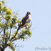 Red-tailed Hawk <br /> Springfield, Mo.