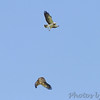 Swainson's Hawks <br /> Hwy 44 Exit 84 <br /> Springfield, Mo.
