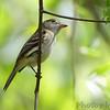Flycatcher sp. <br /> Bridgeton Riverwoods Park and Trail