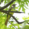 Great Crested Flycatcher <br /> Bridgeton Riverwoods Park and Trail
