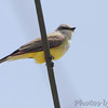 Western Kingbird <br /> Fee Fee Rd just south of McDonnell Blvd