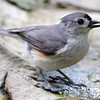 Tufted Titmouse <br /> Tower Grove Park