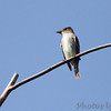 Olive-sided Flycatcher <br /> Tower Grove Park