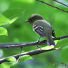 Flycatcher sp. (Least or Acadian?)<br /> Tower Grove Park