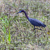 Little Blue Heron  <br /> Columbia Bottom Conservation Area