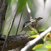 Black and White Warbler  <br /> Columbia Bottom Conservation Area