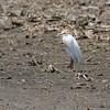 Cattle Egret <br /> Cora Island Road