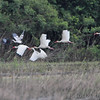 White Ibis <br /> Dunklin County <br /> 2011-05-28<br /> <br /> No. 306 on my Lifetime List of Birds <br /> Photographed in Missouri