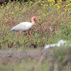 White Ibis <br /> Dunklin County