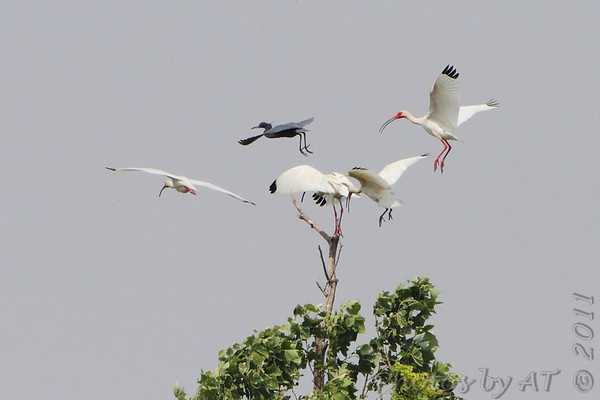 White Ibis and Little Blue Heron  Dunklin County