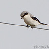 Loggerhead Shrike <br /> Dunklin County