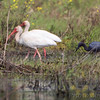 White Ibis and Little Blue Heron <br /> Dunklin County