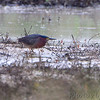 Green Heron <br /> Otter Slough Conservation Area