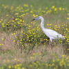 Little Blue Heron <br /> Dunklin County