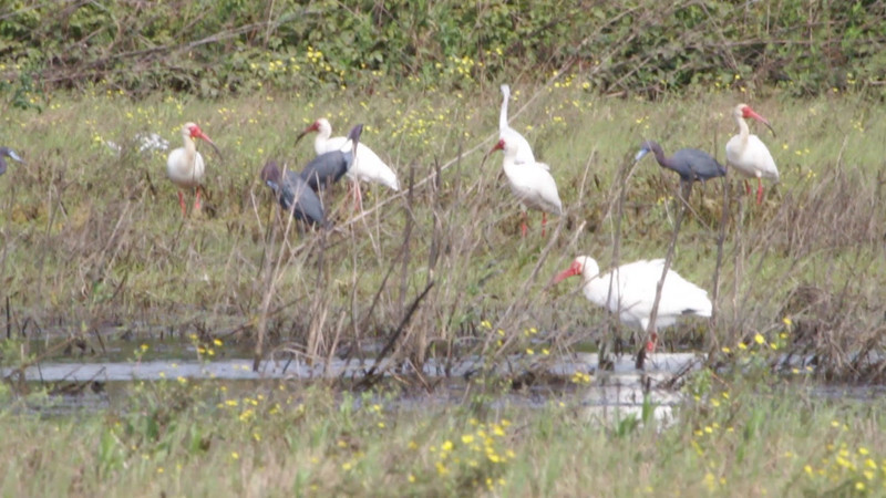 "White Ibis, Little Blue Heron and Great Egret  <br> Dunklin County <br><br><span class=""noShowSmart""> <a href=""/MyKeywords/Bird-Videos/n-gF9bt/i-nGWgRXd/A""> <span style=""color:yellow"">Click here to open video in lightbox/full screen</span></a> </span>  <span class=""noShowGallery""> <a href=""/Birds/Birding-2011-May/2011-05-27-28-SE-Mo/i-nGWgRXd/A""> <span style=""color:yellow"">Click here to open video in lightbox/full screen</span></a> </span>"