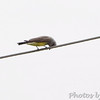 Western Kingbird <br /> Fee Fee Road <br /> 3/10 of a mile south of McDonnell Blvd.