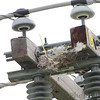Western Kingbird nest <br /> Fee Fee Road <br /> 3/10 of a mile south of McDonnell Blvd.