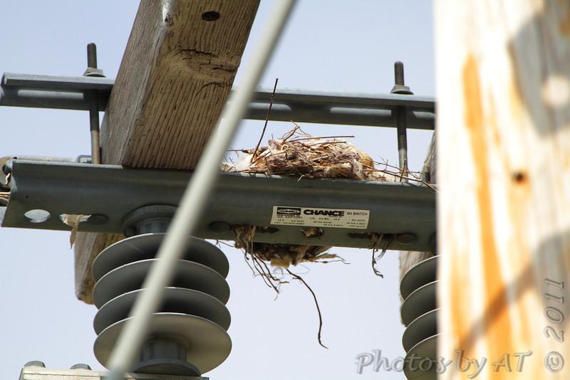 Western Kingbird nest <br /> Ferguson Road <br /> Bridgeton ballpark