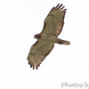 Red-tailed Hawk <br /> Gist Road