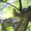 Palm Warbler <br /> Bridgeton, Mo. <br /> 5/08/2011