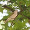 Tennessee Warbler <br /> Bridgeton, Mo. <br /> 5/08/2011