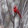 Northern Cardinal <br /> Voelkerding Slough