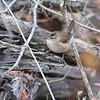 Marsh Wren <br /> Voelkerding Slough