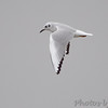 Bonaparte's Gull <br /> Teal Pond <br /> Riverlands Migratory Bird Sanctuary