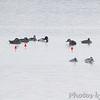 Surf Scoter  <br /> Ellis bay <br /> Riverlands Migratory Bird Sanctuary