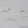 Bonaparte's Gulls <br /> Teal Pond <br /> Riverlands Migratory Bird Sanctuary