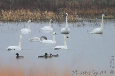 Tundra Swans  and Trumpeter Swans  Riverlands Migratory Bird Sanctuary