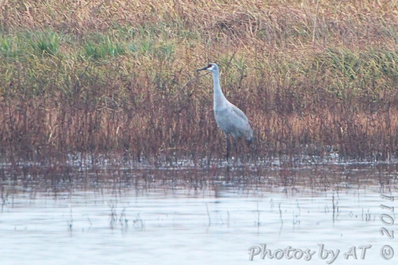 Sandhill Crane <br /> Pool East of Heron Pond <br /> Riverlands Migratory Bird Sanctuary