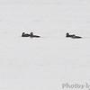 Four Black Scoter's <br /> Mississippi River <br /> Lincoln Shields Area <br /> Riverlands Migratory Bird Sanctuary