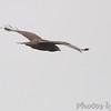 Red-tailed Hawk (Western - Dark-morph) <br /> Western Dark-morph <br /> Natural Bridge Road <br /> Bridgeton, mo.