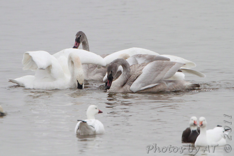 Trumpeter Swans and Snow Geese <br /> Heron Pond <br /> Riverlands Migratory Bird Sanctuary