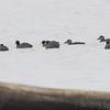 Surf Scoters <br /> and American Coot <br /> Ellis Bay <br /> Riverlands Migratory Bird Sanctuary